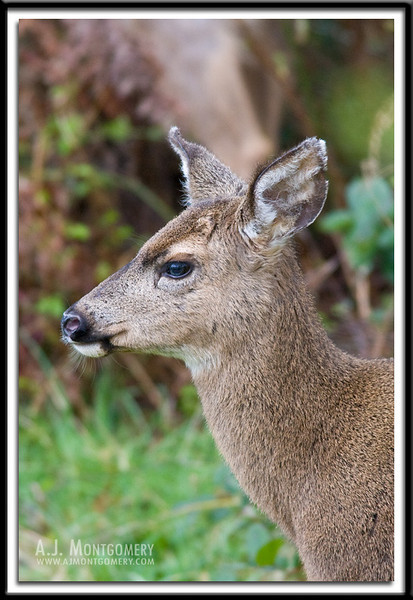 White-tailed Deer portrait