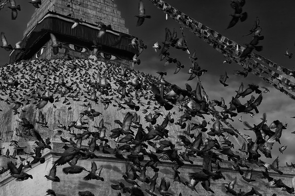 pigeons flying around Boudhanath  stupa