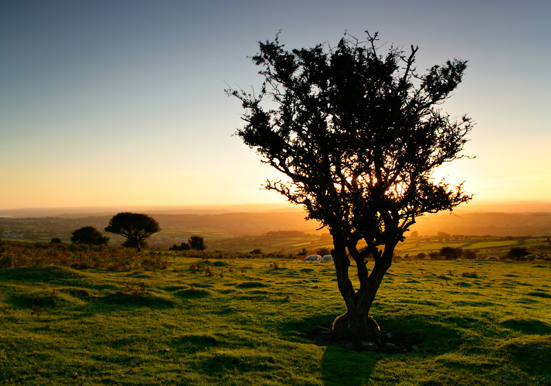 Dartmoor Tree Silhouette at Sunset