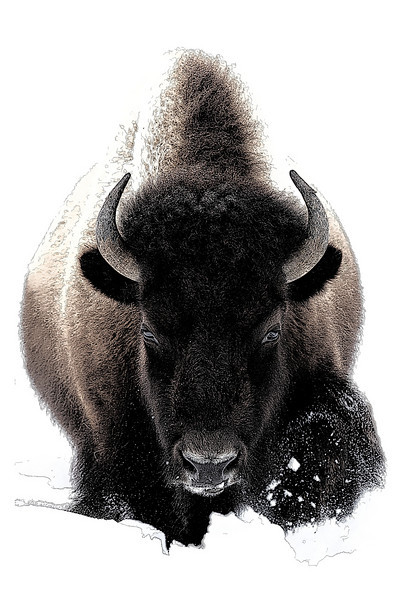 """Bison Sketch""<br /> <br /> This is a Photoshop sketch of a bison that was coming straight towards me in Yellowstone National Park. It was taken on a particularly cold day during a tough winter. Taken in our neighboring state of Wyoming."