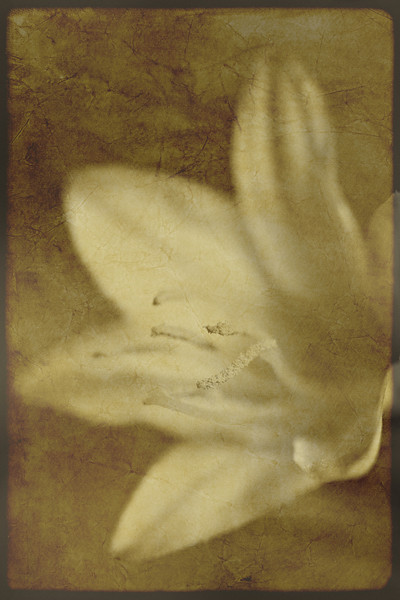Desert Lily, Textured