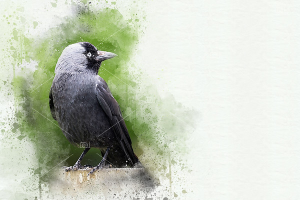 Adult jackdaw mixed media painting