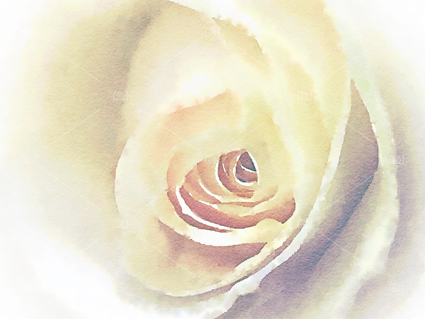 Digital watercolour of a white rose
