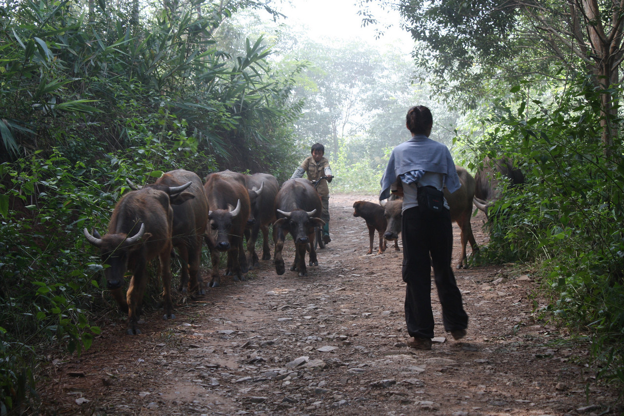 Challenging the cattle