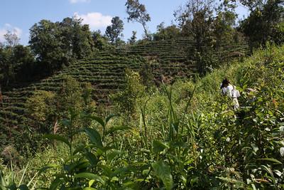 tea plantation all around