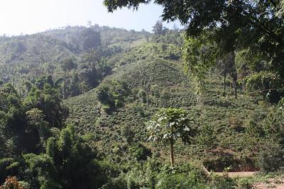 Tea plantation in the jungle