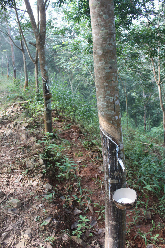 Rubber trees, collecting rubber