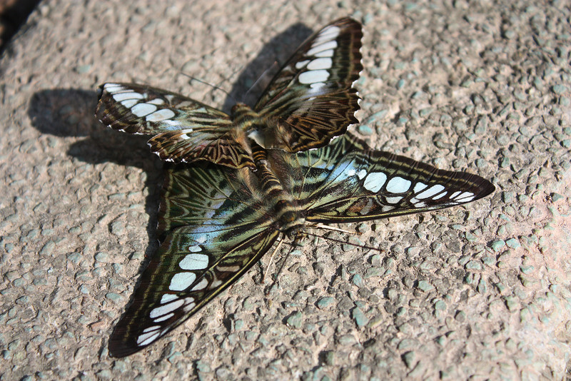 Jinghong, Wild Elephan Valley, Butterfly mating