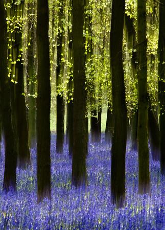 Mystical Bluebells