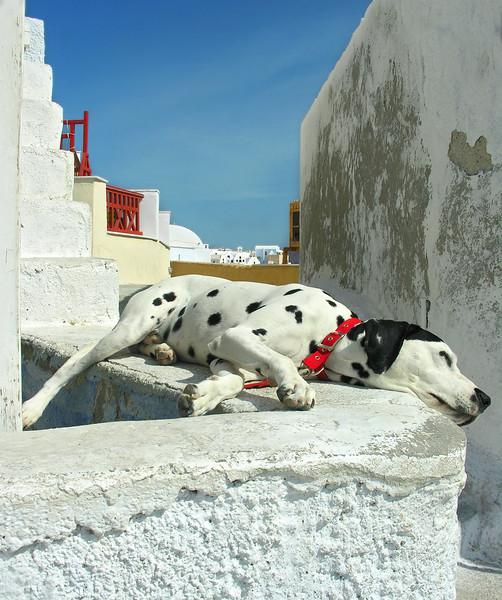 Santorini Dalmatian