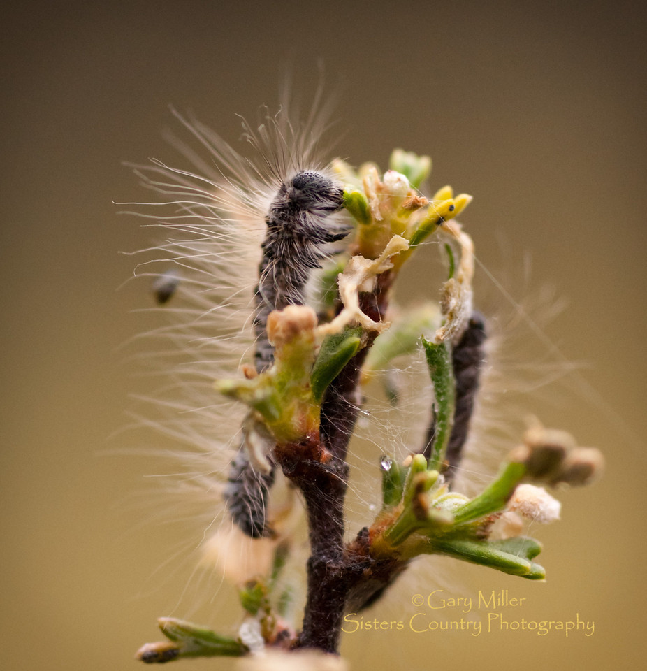 Tent Caterpillars - Sisters Country Oregon - Photo by Gary N Miller, Sisters Country Photography