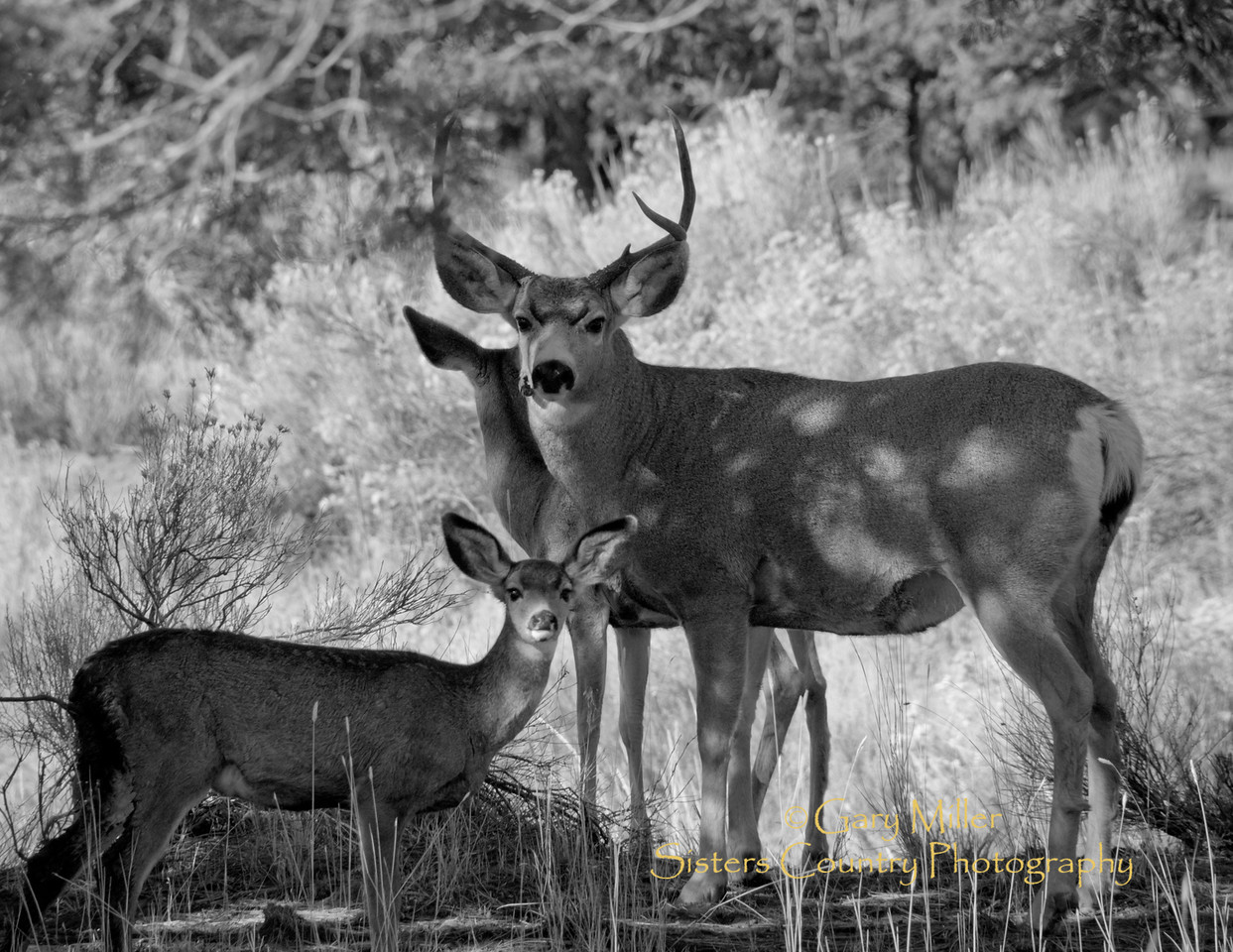 A handsome buck finds time during prime hunting season to share a moment with his family. A close inspection of his right jaw shows what appears be a wound from a previous violent encounter of some type. - Gary Miller
