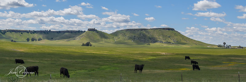 Cattle Graze In The Expanse