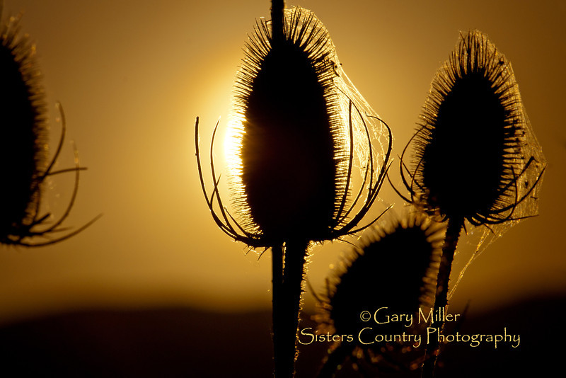 Teaseling the Light - The right light brings out a magic beauty in Teasel. This tough plant may contain the cure for Lyme disease - Photo by Gary N. Miller - Sisters Country Photography