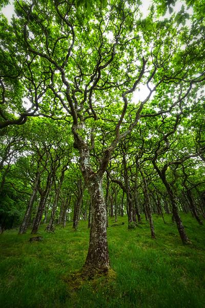 Exmoor Dwarf Oak Trees