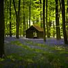 Bluebell Wood in the spring, Hampshire, England