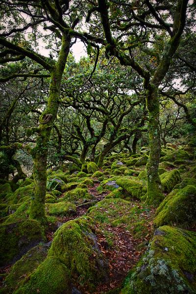 Dwarf Oaks, Dartmoor, Devon