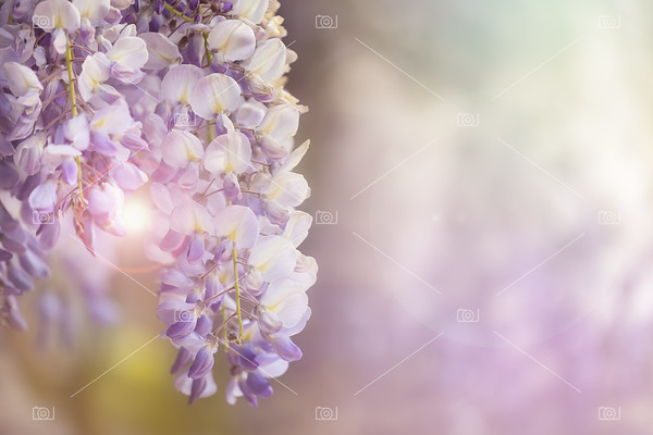 Wisteria flowers in sunlight