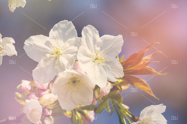 Cherry blossom in sunlight