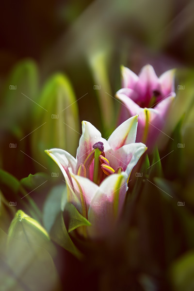 Detail of pink and white oriental lilies in sunlight.
