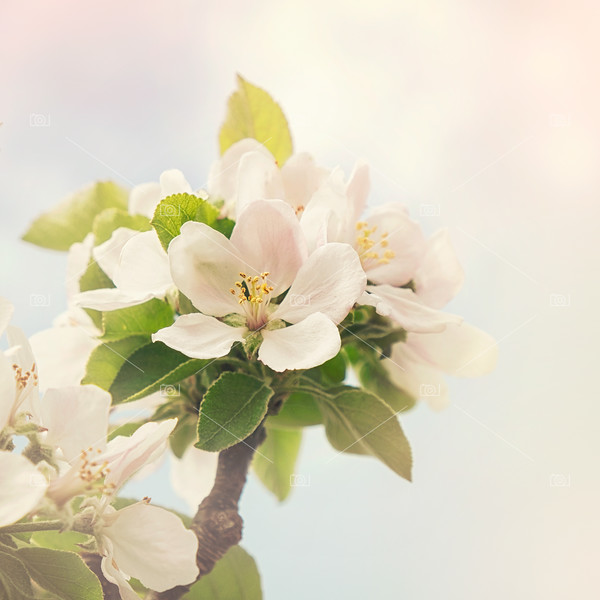 Apple blossom retro style processing