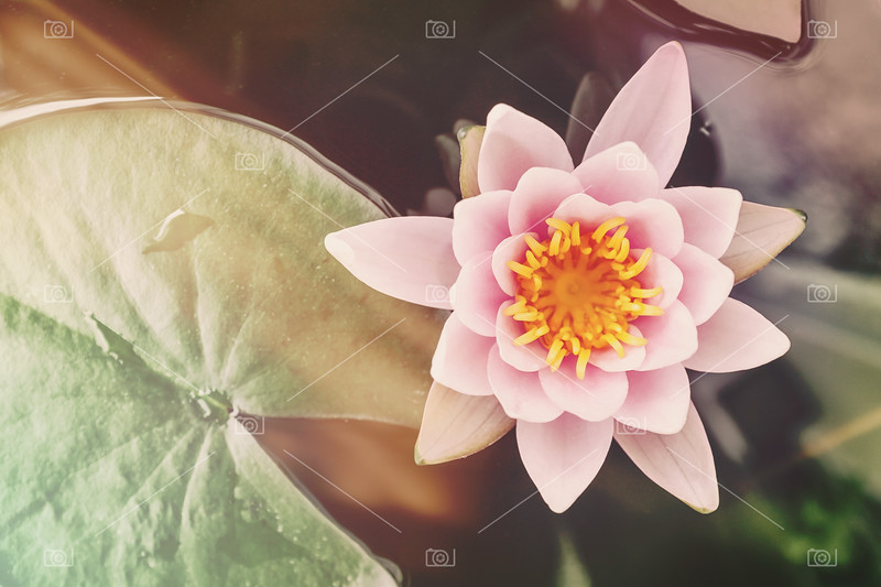 Water lily retro style with light leaks