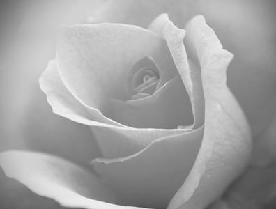bw rose/062310 **