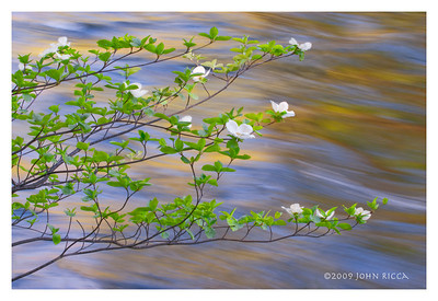 Dogwood Blossoms & Merced River