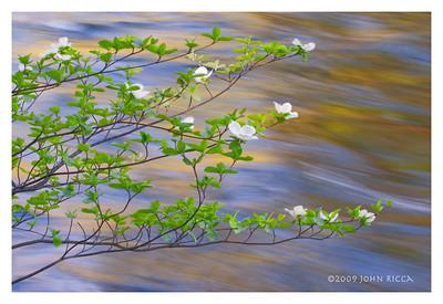 Dogwood Blossoms & Merced River