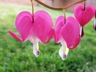 bleeding heart/051912 **