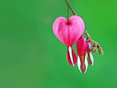 bleeding heart/052212 **