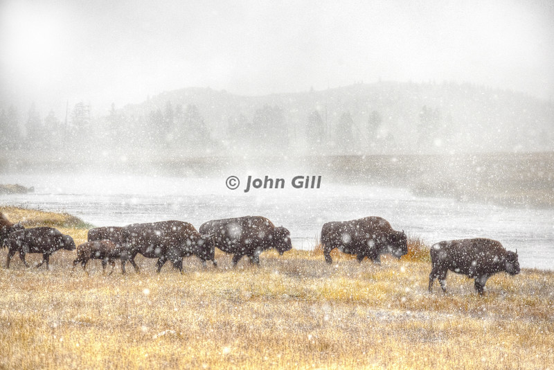 Bison in Snow Squall