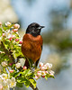 Orchard Oriole 0485