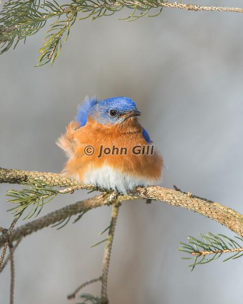 Eastern Bluebird 9954