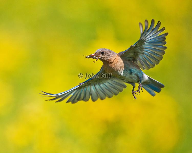 Bluebird Breakfast Flight