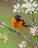 Baltimore Oriole 2501