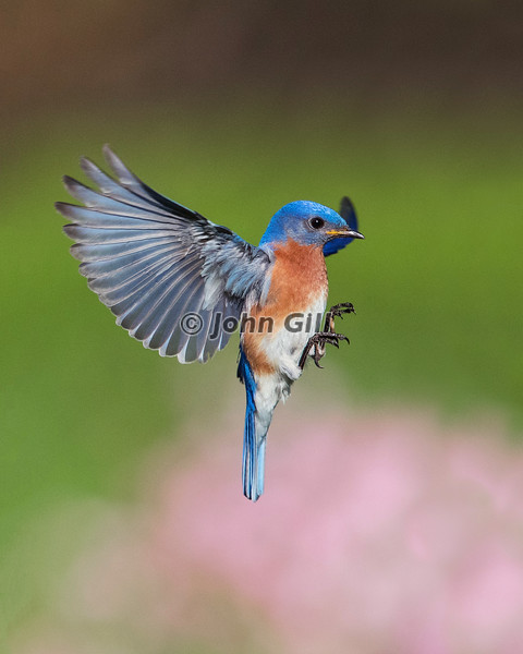 Eastern Bluebird Landing Approach