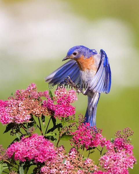 Eastern Bluebird Landing in Spirea
