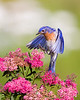 Eastern Bluebird Landing in Spirea