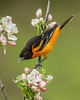 Baltimore Oriole 0728