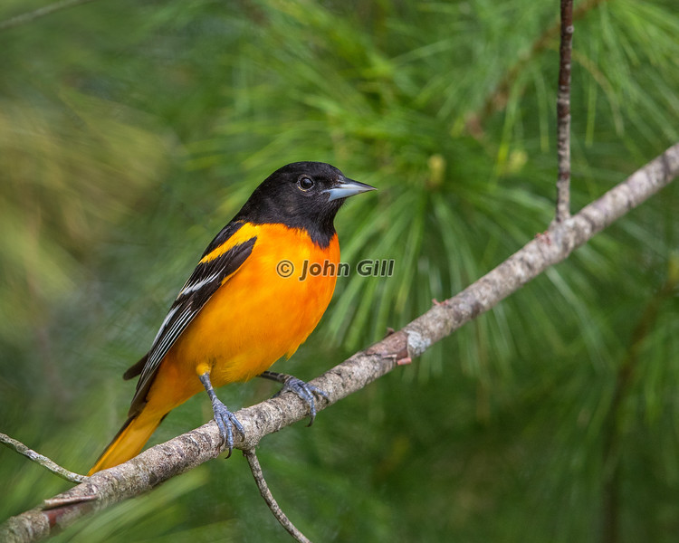 Baltimore Oriole 7088