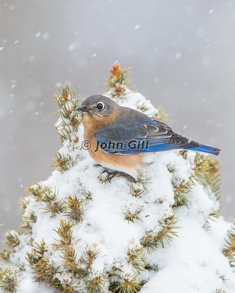 Eastern Bluebird 9600