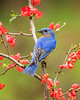 Eastern Bluebird on Quince