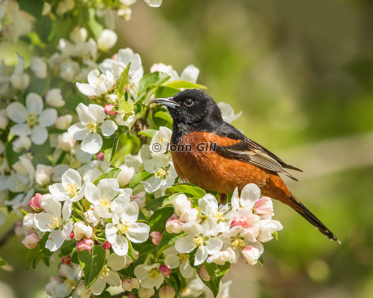 Orchard Oriole 0204