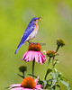 Eastern Bluebird (male) on Coneflower