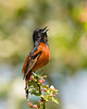 Orchard Oriole 0552
