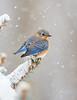 Bluebird Storm 9580