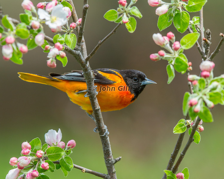 Baltimore Oriole in apple tree with blossoms