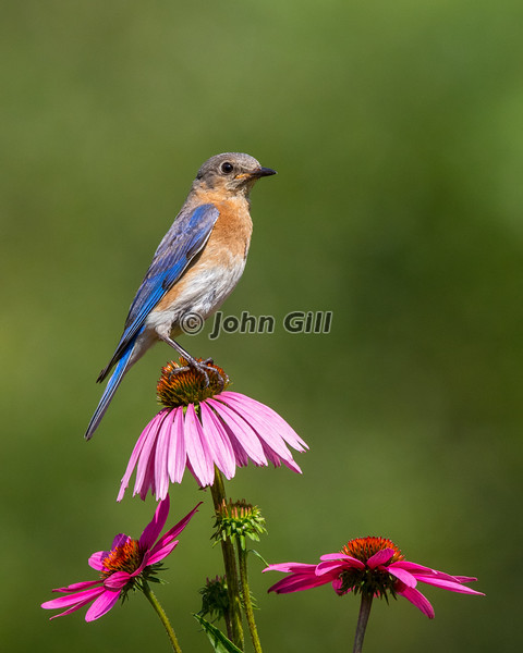 Eastern Bluebird 1436