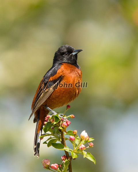 Orchard Oriole 0600